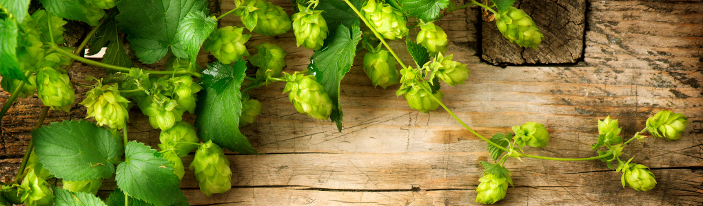 Hops on a vine